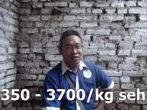 Ayam Kampung Panen 60 Hari Pola Nogososro Sabuk Inten