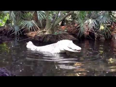 Fishing & feeding behavior of an Albino American Alligator a
