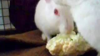 Funny rabbit video, white rabbit having fun