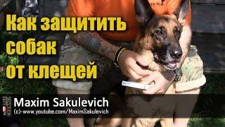Как защитить собак от клещей