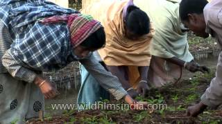 Tea workers harvest tea leaves at a plantation in Assam