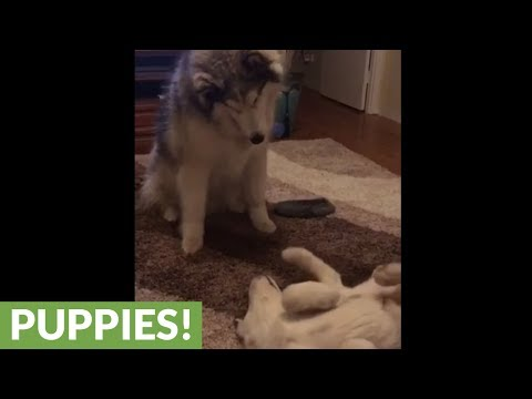 Alaskan Malamute & puppy talk to each other