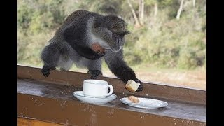 Monkey Videos -  Funny Monkeys Stealing Things from Human Compilation 2019