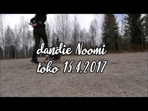 Dandie Dinmont Terrier Noomi - obedience training 15.4.2017