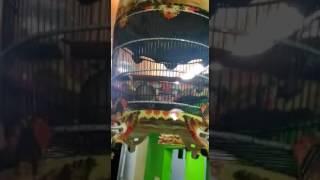Video Edan....!! Kicau Burung Perkutut  Manggung Durasi Panjang Suara Jernih download MP3, 3GP, MP4, WEBM, AVI, FLV Agustus 2018