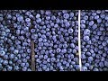 Fresh Stories: Dandrea Produce - Local Blueberries