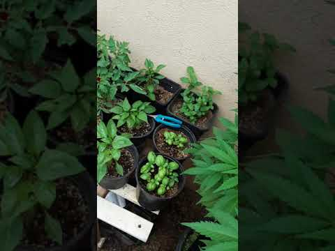 Growing Marijuana Cannabis Port of Los Angeles s1 ep2