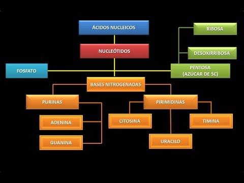 Ácidos Nucleicos: Estructura