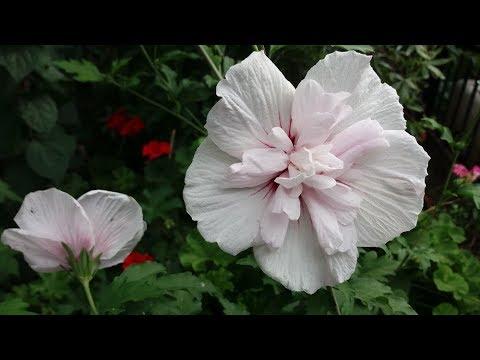 Гибискус сирийский Пинк Шифон (Hibiscus Pink Chiffon)