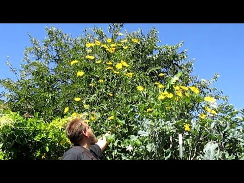 12 ft Tall Perennial Sunflower With Edible Tubers | Helianthus tuberosus