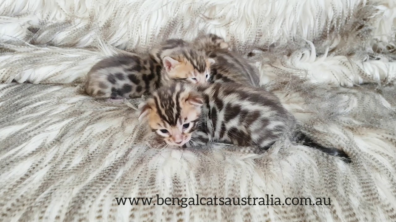 Bengal Breeder | Kittens For Sale | Bengal Cats Australia