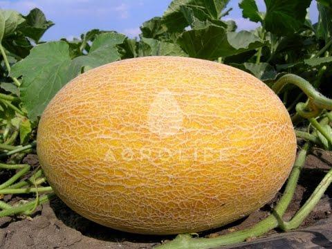 Садим дыни на Урале!!!Plant melons in the Urals!!!