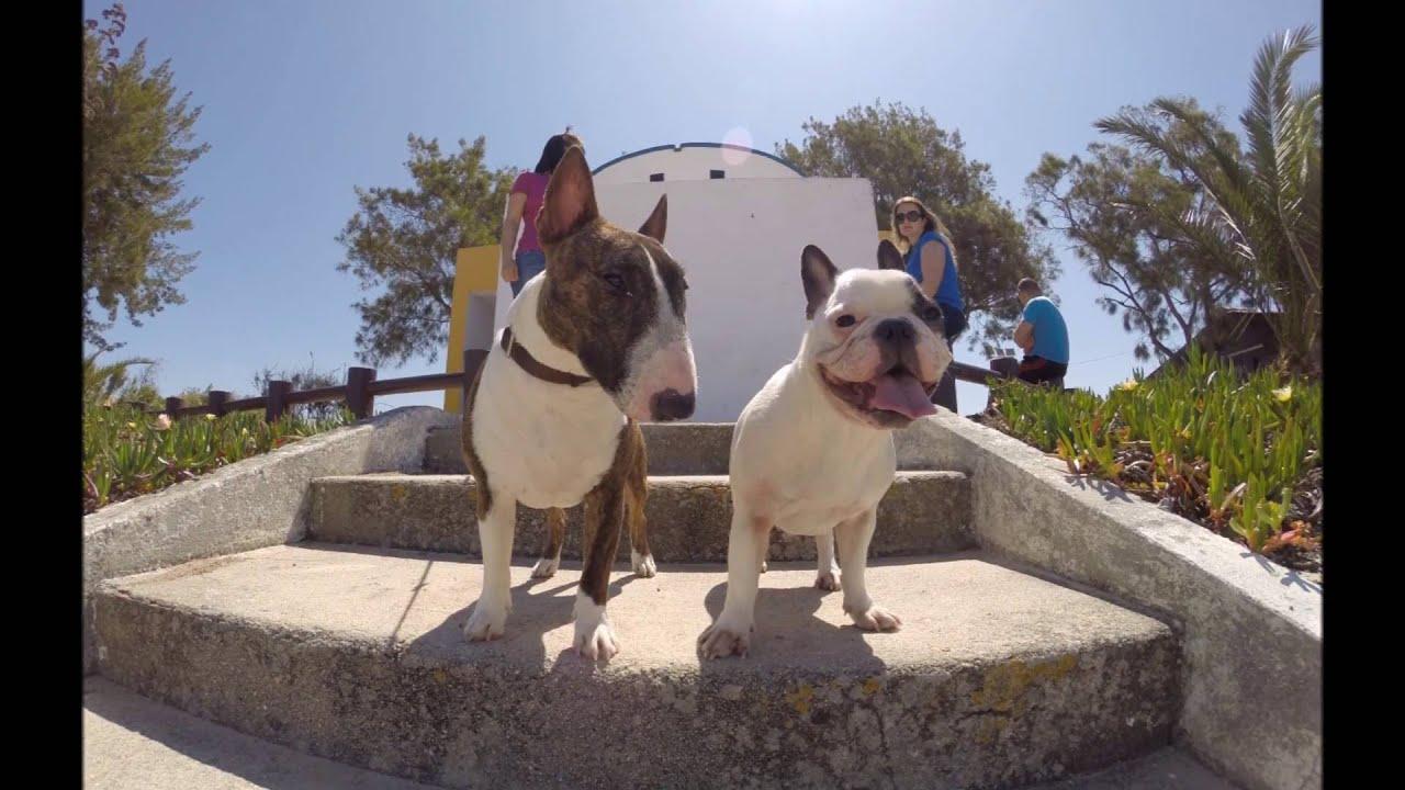 Fotos Bull Terrier & Bulldog Francês // Venus & Franceses ...