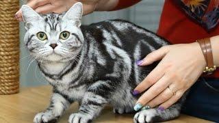 видео Американская жесткошерстная кошка