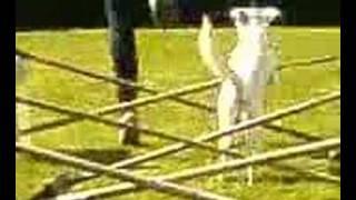 Jumping Dog Gymnastic Jumps