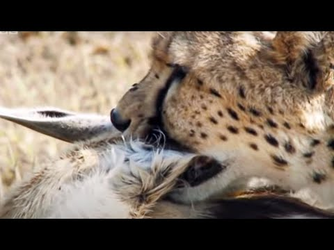 Cheetah chases Gazelle - Inside the Perfect Predator - BBC