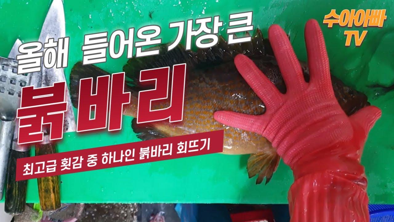 올해 제일큰 붉바리 42cm 손질영상, 기름이 흘러내립니다.(Hong Kong grouper trimming) / Korean sea food / Korean sashimi /