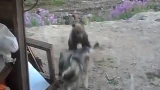 камчатка нападение медведя 2 тела и собака
