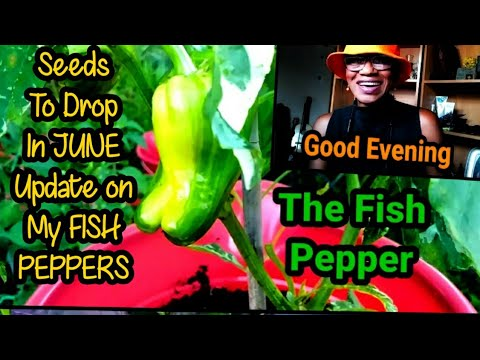 An Update On My FISH PEPPERS/ Seeds You Can Drop In June
