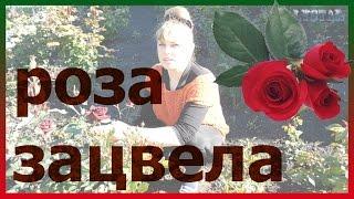 Цветение первой розы в розарии! Всё о розах. Уход за розами. Как выращивать розы.(Цветение первой розы в розарии! Всё о розах. Уход за розами. Как выращивать розы. Подписывайтесь на мой канал..., 2016-05-20T13:28:05.000Z)