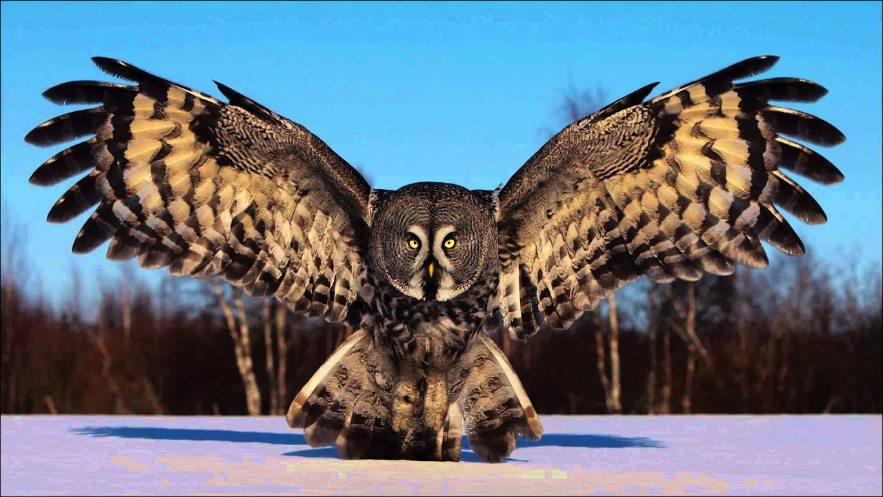 Great Grey Owls With Finnature