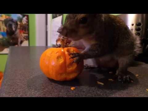 Pet Squirrel carving a pumpkin!