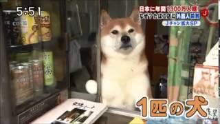 可愛柴犬吸引外國觀光客。