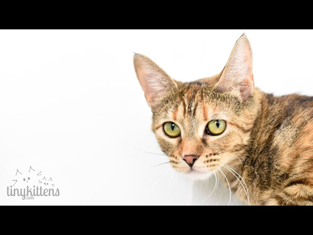 LIVE: Adoption room full of adorable cats and kittens! TinyKittens.com