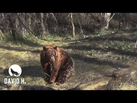 Bowhunt For MASSIVE BEARS!!!! (Manitoba)