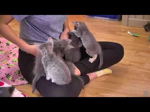 It's rough visiting cute grey kittens