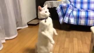 Забавный кот, который ходит на задних лапах