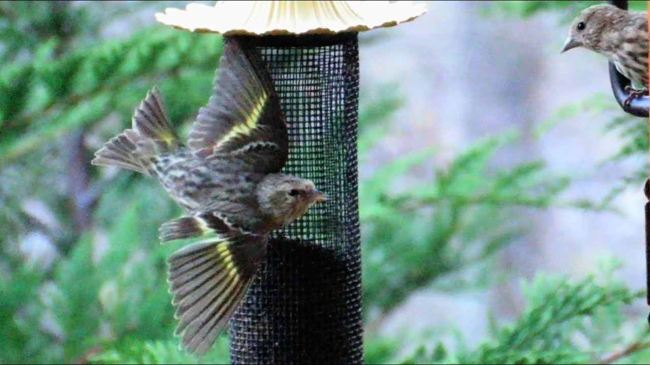 new to get thistle birds attract a bird feeders use feeder