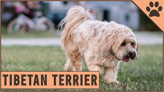 Tibetan Terrier Dog Breed  Everything You Need To Know