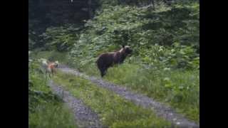 林道で遭遇したヒグマと、タロウの連続写真を動画にしてみました。 2012...