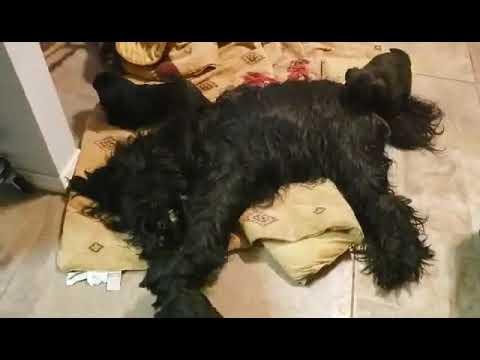 Briard pups at 4 weeks