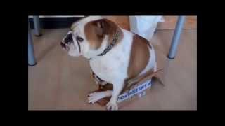 Бульдог пытается залезть в коробку, которая ему явно не по размеру))