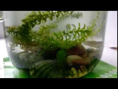 Как живут мои караси в банке.|Часть 5|.Новые водоросли.Тритон сбежал