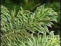 How to: Grow Song of India | Indoor Plant - Dracaena Reflexa