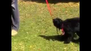 How To Stop Your Dog From Chewing The Leash - Dog Training Videos