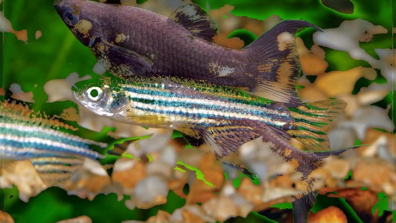 10 Best Freshwater Aquarium Fish For Beginners Youtube