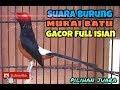 Terbaru Audio Murai Batu Gacor Masteran 1 Jam Full Ngebren(.mp3 .mp4) Mp3 - Mp4 Download