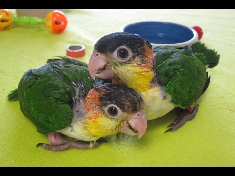 Fina and Peaches 9 Week old Baby White Bellied Caique Parrots