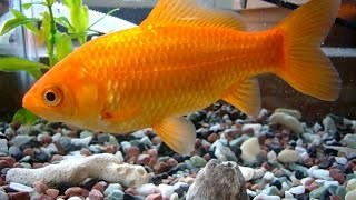 everything-about-common-goldfish
