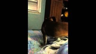 Chupacapra sounding pups. 20131027_221324.mp4