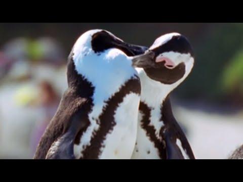 Penguin Lovelife - African Penguin - BBC Earth