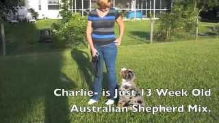 13 Week Old Australian Shepherd Mix Puppy Training