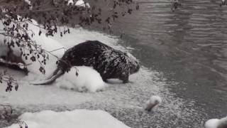 Зимняя видео-охота на бобра) 6.01.2017