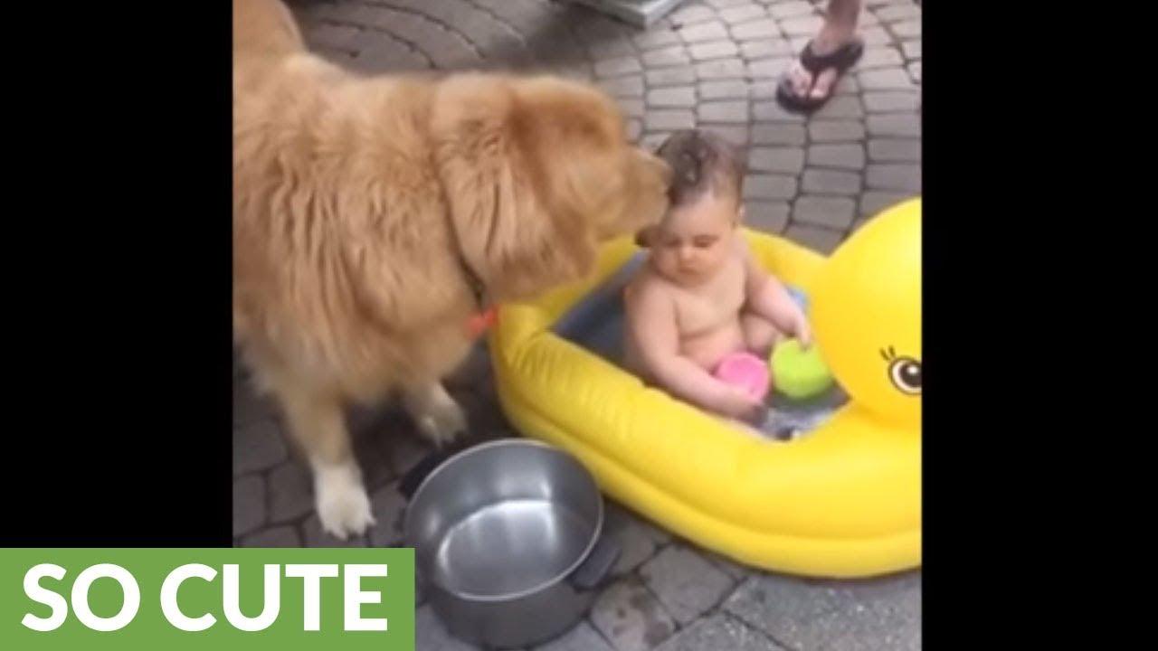 Golden Retriever dog helps give baby a bath