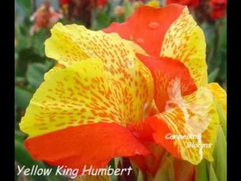 Cannas in Australia, Yellow King Humbert, Stuttgart, Annjee, Canna Capri