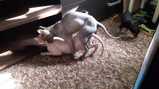 Удачная первая вязка донских сфинксов Лея Органа